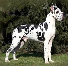 black and white brindle great dane dog standing on gr