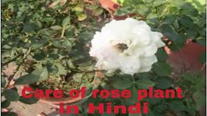 care of rose plant in summer season how to make rose plant for more blooming hindi urdu