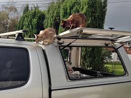 cats playing on the cat door company truck