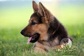 German Shepherd Ear Chart The Complete German Shepherd Guide From Pup To Pal Shepped Com