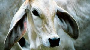 Gestation Period For Cows All Other Mammals Beef2live