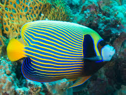 sea emperor size emperor angelfish wikipedia