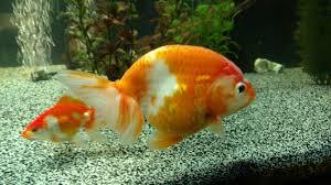 Goldfish Feeding Chart Best Tankmates For Goldfish Advanced Aquarium Concepts