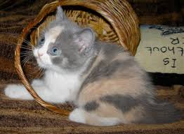 dilute calico kittens for sale. Exellent Sale Dilute Calico To Dilute Calico Kittens For Sale E