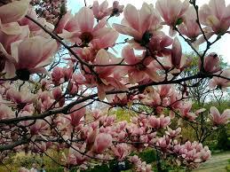 Per quanto riguarda i fiori , sono presenti fiori maschili e fiori femminili , che possono sia alberi: Alberi Da Fiore Da Giardino Piante Da Giardino Alberi Con Fiore Per Il Giardino