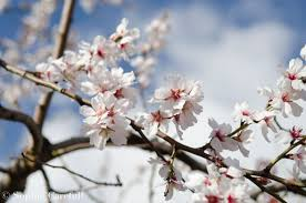 Image result for blossoming almond tree