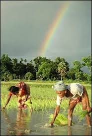 bbc news special reports the limits of a green revolution  planting rice tipura province photo ap
