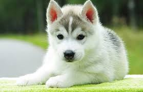white and grey husky puppy. Wonderful Puppy White And Grey Siberian Husky Puppy Sitting On B