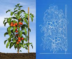 Phenology Chart Ryan Etter Illustration Tomato Phenology Chart