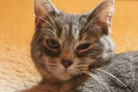 watery eye discharge in cats
