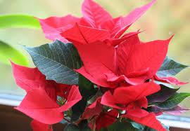 Weihnachtssterne So Bleiben Sie Lange Schön Birchmeier