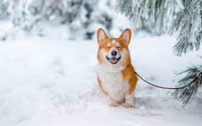 Download wallpapers Welsh Corgi, ginger dog, winter, snow, forest, pets, dogs, breeds of dogs, 4k for desktop free. Pictures for desktop free