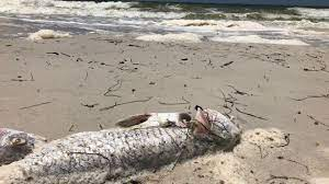 Red tide, dead fish return to Pinellas ...