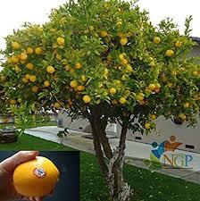 orange fruit plant orange fruit