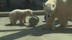 toledo zoo s newest polar bear cub makes a big spalsh