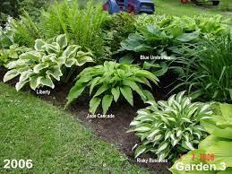 hostas in a garden design hosta forum