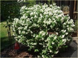 krzewy Jaśminowiec Belle Etoile K180