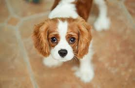 cavalier king charles spaniel puppies 60 cool wallpaper