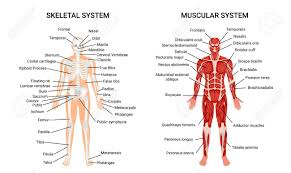 Anatomy Chart Muscular System Muscular And Skeletal Systems Anatomy Chart Complete Educative