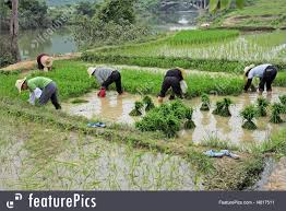 chinese rice field. Wonderful Rice Yangshuo Guangxi Region China June 23 2008 Chinese Women Planting Rice On Rice Field E
