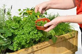 rasised wooden planter filled with fresh herbs
