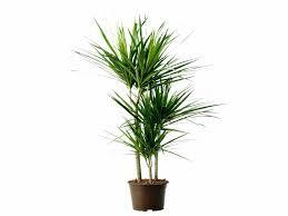 modern office plants. Garden Plants Tall Modern Indoor A Premium Plant Kentia Palm Is An Office