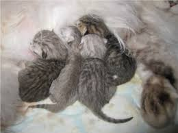 newborn gray kittens. Beautiful Gray First Pic Is Newborn The One In The Left Shall Be Our Demonstrator  Someone Might Even Mistake Him As A Spotted Tabby At That Point For Newborn Gray Kittens B