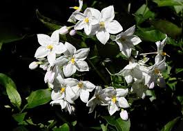 potato vine flower. Delighful Flower Potato Vine On Vine Flower