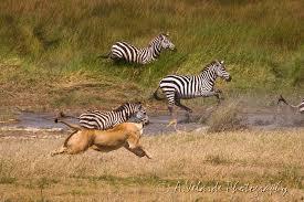 lioness hunting zebra. Unique Zebra Lioness Hunting Zebra  Serengeti Tanzania Inside L