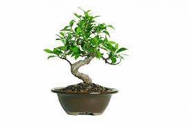 office tree. 25 Office Desk Plants Ficus Bonsai Tree
