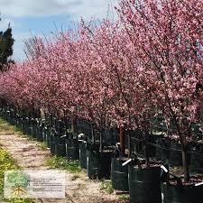 Cherry Blossom Light Tree Bunnings Prunus Blireana Cherry Blossom Plum Deciduous Trees