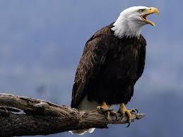 Resultado de imagem para águia careca ninho