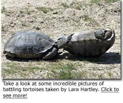 Desert Tortoise Desertusa