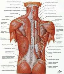 Image Result For Back Muscles Diagram Muscle Diagram