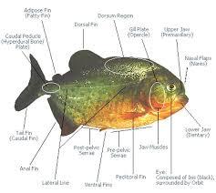 The Size And Anatomy Of Piranha Piranha Guide