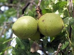 ISU Forestry Extension  Tree Identification Black Walnut Green Fruit Tree Identification