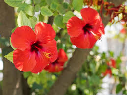 hibiscus flowers hibiscus flower growing colors care mindbodygreen