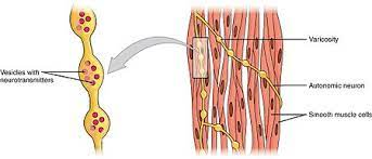 Explain the importance of a nerve supply and exercise in keeping muscles healthy. Smooth Muscle Wikipedia