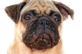 dog pimples an expert guide to acne in
