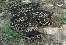 Can You Identify All Of These Texas Snakes Quiz