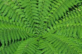 Image result for native ferns