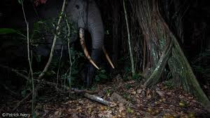 PATRICK-AVERY-Bull-forest-elephant-Lekeni-river-Odzala-National-Park-Congo  - Africa Geographic