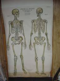 American Frohse Anatomical Charts Key 1918 American Frohse Anatomical Charts Human Skeleton Plate