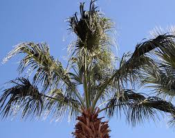 fan palm trees. mexican fan palm tree photograph - by amelia painter trees