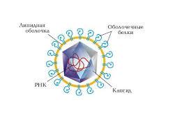 Вирусы реферат реферат на тему вирусы Вирусы реферат