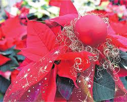 Dekotrends Für Geislingen Weihnachtsstern Und Misteln