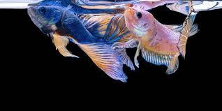 Cara Membedakan Ikan Cupang Aduan Jantan Dan Betina