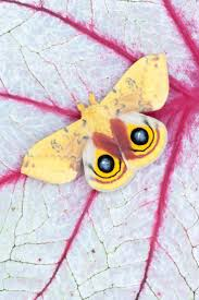 Small Moths In Bedroom Top 2932 Ideas About Amazing Butterflies Dragonflies Moths On