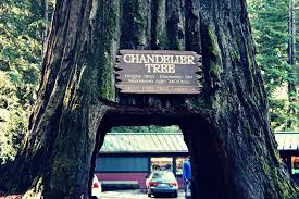 chandelier tree drive thru tree leggett ca