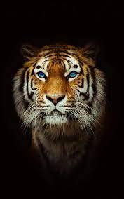 Cool Tiger Wallpapers - Top Free Cool ...
